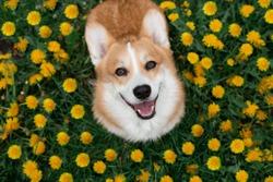 Happy corgi dog sitting in dandelions in the grass smiling in spring