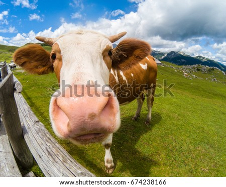 Happy cow free range grass fed in the mountains
