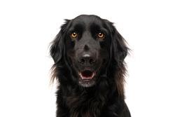 Happy Cute Black Golden Retriever Dog on White Background