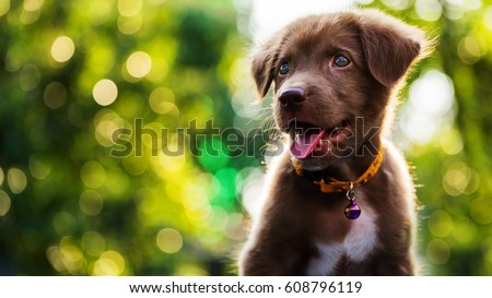 Happy cute brown Labrador retriever puppy with bokeh foliage sunset light abstract background. Head shot portrait of Adorable smile dog at green spring tree leaf in meadow with copy space for text. #608796119