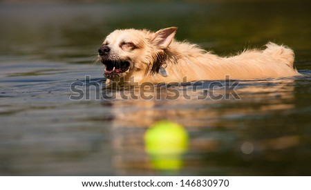 Happy cute dog swimming and playing in water with a tennis ball laughing