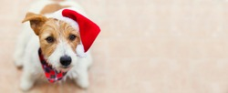 Happy cute jack russell terrier santa christmas pet dog puppy smiling, listening. Holiday banner with copy space.