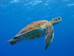 Happy cute sea turtle swimming freely in the blue ocean. Scuba diving with the underwater sea turtle. RIch blue sea water background. Exotic vacation with sea turtle.