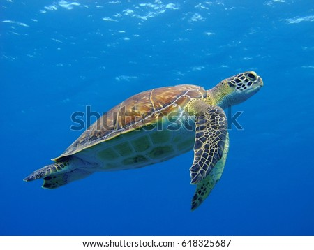 Stock Photo Happy cute sea turtle swimming freely in the blue ocean. Scuba diving with the underwater sea turtle. RIch blue sea water background. Exotic vacation with sea turtle.