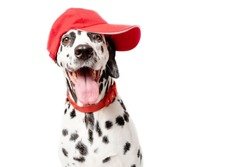 Happy dalmatian dog in a red baseball cap and in a red collar isolated on white background. Dog with tongue out. Copy space