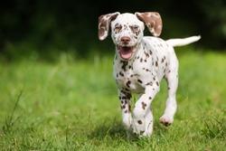 happy dalmatian puppy running outdoors