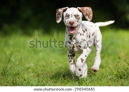 happy dalmatian puppy running outdoors