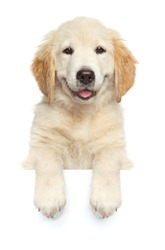 Happy dog above banner, isolated on white background, front view