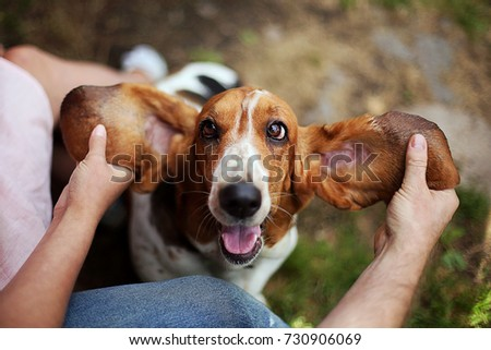 Happy dog  basset hound with ears up.   Beautiful kind dog. Pets #730906069