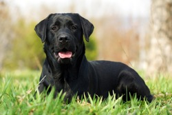 happy dog beautiful Labrador Retriever lying on the grass in the summer