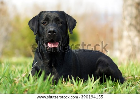 Stock Photo happy dog beautiful Labrador Retriever lying on the grass in the summer