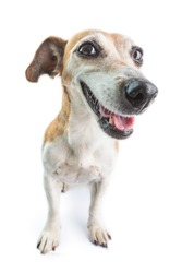 Happy dog face. White background.  Cute Jack Russell terrier