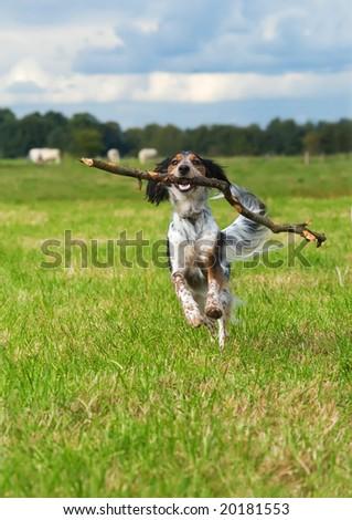 happy dog fetching a big stick