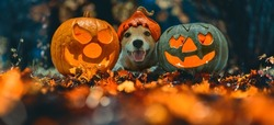 Happy dog in Halloween costume and two blazing carved pumpkins (Jack o'lantern) on Autumn leaves in night