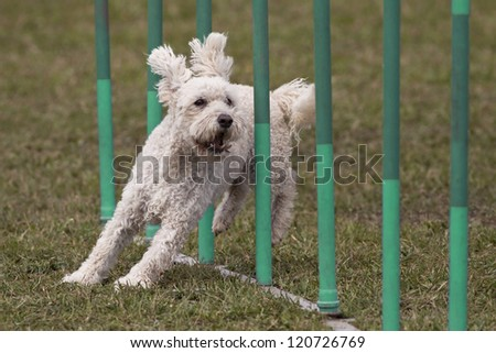 Happy dog in the agility slalom
