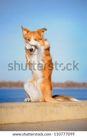 happy dog is sitting on its hind legs on the curb and closes nose paws