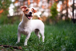 Happy dog, jack russell playing in the park