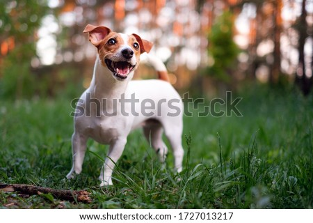 Happy dog, jack russell playing in the park Foto stock ©
