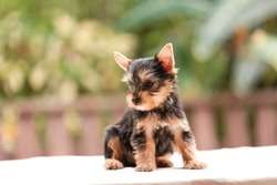 Happy dog,Little Cute Yorkshire terrier puppy stand on the table in tree background. Yorkie teacup sit on the table,adorable dog, funny dog portrait in the garden