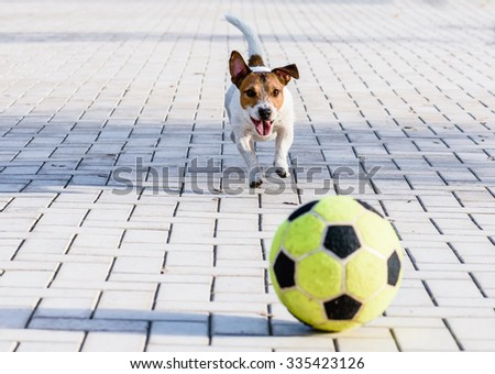 Happy dog playing with a ball at park. Jack Russell Terrier running down a alley
