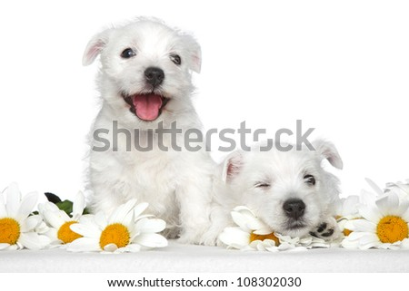 Happy dog puppies in daisies on a white background