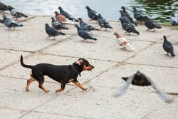 happy dog puppy chasing pigeons freedom run ears funny domestic animals