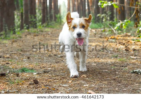 Happy dog running in a forest. Jack Russell Terrier puppy playing outdoors #461642173