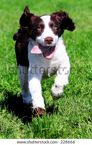 Happy dog running in grass
