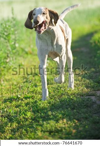 Happy dog running on green meadow