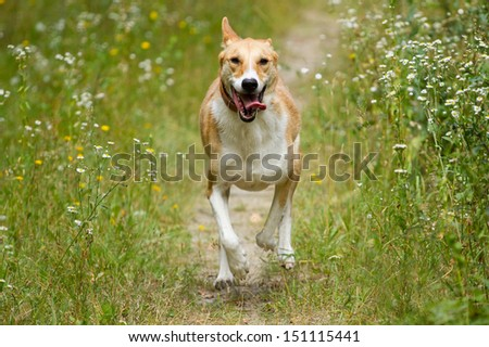 Happy dog running through a meadow