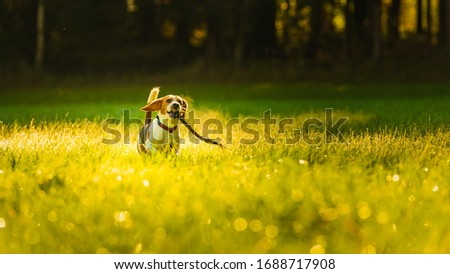 Happy dog running with stick through a green vivid meadow towards camera. Beagle dog background ストックフォト ©