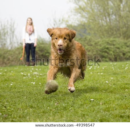 Happy dog runs with great speed after yellow tennis ball, thrown away by young woman