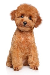 Happy dog. Toy Poodle puppy sits on white background, front view