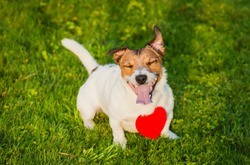 Happy dog wearing heart shaped pendant on green grass