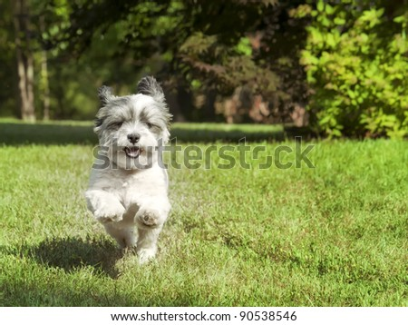 Happy dog with floppy ears running fast