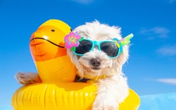 happy dog with sunglasses and floating ring