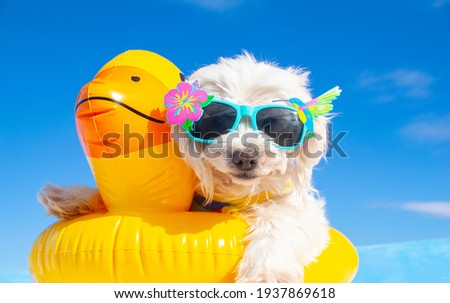happy dog with sunglasses and floating ring Foto d'archivio ©