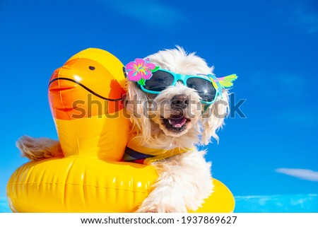 happy dog with sunglasses and floating ring Photo stock ©