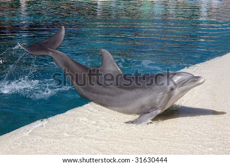 Happy Dolphin playing in the blue water of the swimming pool