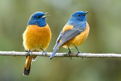 Happy duo birds perching on thin branch singning together, lovely male Blue-fronted redstart birds in friendship moment