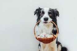 Happy Easter concept. Preparation for holiday. Cute puppy dog border collie holding basket with Easter colorful eggs in mouth isolated on white background. Spring greeting card