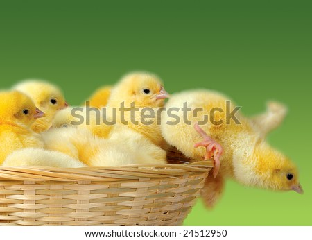 Happy Easter. Group of funny cute yellow chickens in basket