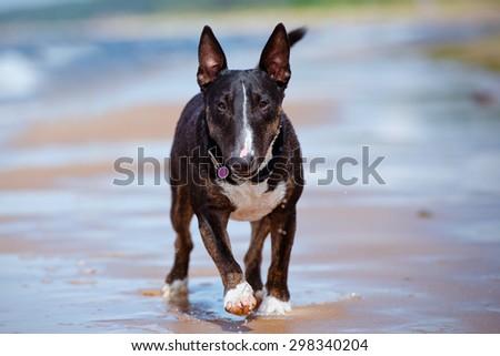 happy english bull terrier dog on the beach