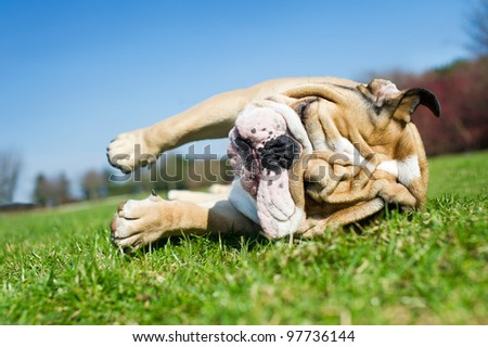 Happy english bulldog laying in a grass