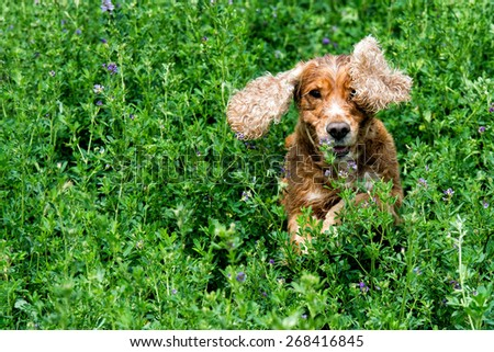 Happy english cocker spaniel while playing in the grass field #268416845