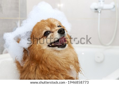 Happy face of a red dog in the bathroom with foam on his head. The hair of a German Spitz dog is washed in the shower Stock foto ©