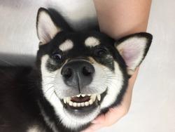 happy face of shiba