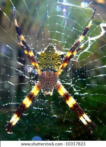 stock photo : happy-face spider of Kauai