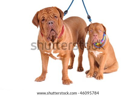 Happy Family of Dogues de Bordeaux wearing Necklaces