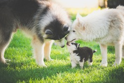 Happy family of siberian husky dog playing on green grass under sun light